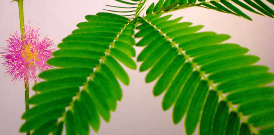 la plante marie honte la plante peureuse. Black Bedroom Furniture Sets. Home Design Ideas